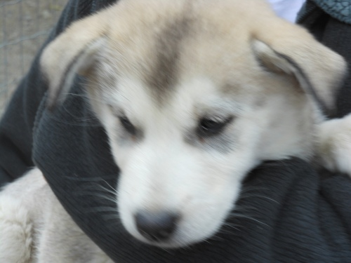 Sled dog puppy